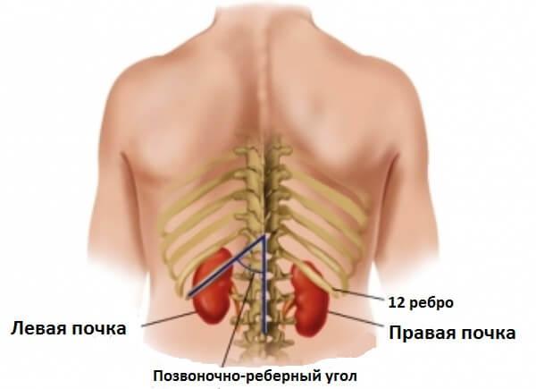 Почки в организме человека