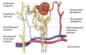 структурно-функциональная единица органа