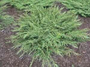хвойное дерево или кустарник из сем. кипарисовых